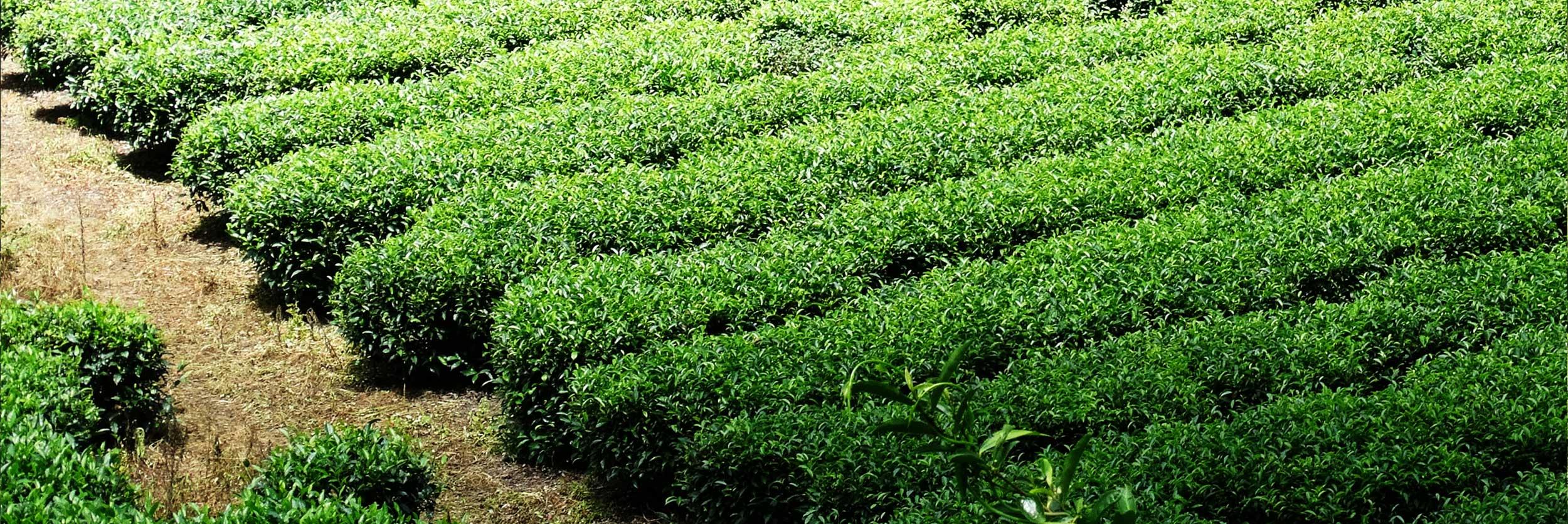 Dabei liegt uns nicht nur die hohe Qualität des Tees am Herzen, für uns zählt auch der nachhaltige Handel. Wir beziehen unsere Ware von sorgsam ausgewählten und zertifizierten Lieferanten und Teeproduzenten, die dieselbe Philosophie wie wir vertreten.