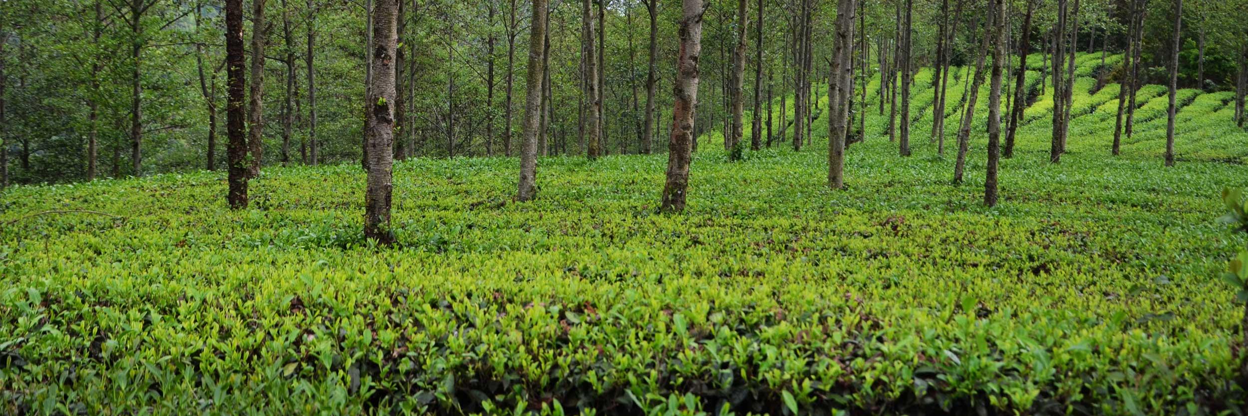 Wir von Teesign 77 beziehen unsere Tees direkt aus chinesischen wichtigen Teeanbauregionen: Yunnan, Fujian, Guangxi, Zhejiang, Taiwan.
